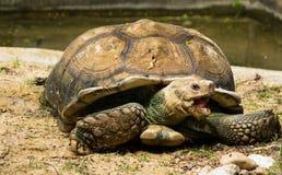 Tartaruga, tartaruga de Sulcata, jardim zoológico de Tailândia Fotos de Stock Royalty Free