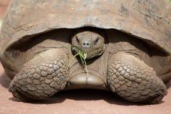 Tartaruga terrestre di Galapagos del gigante Immagini Stock