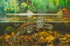 Tartaruga in un acquario Immagini Stock