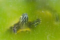 Tartaruga in un acquario Fotografia Stock Libera da Diritti