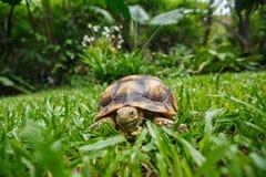 Tartaruga in un'iarda del giardino della pianta Fotografia Stock