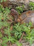 Tartaruga variopinta Fotografie Stock