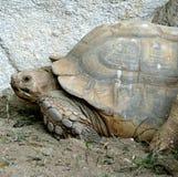 Tartaruga velha imagem de stock royalty free