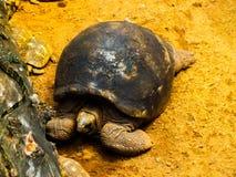 Tartaruga velha de SRI LANKA imagem de stock