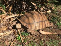 Tartaruga velha na terra em Kauai, Havaí imagem de stock
