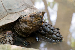 Tartaruga velha no jardim zoológico Fotos de Stock Royalty Free