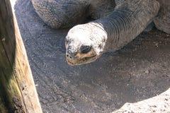 Tartaruga velha que senta-se no sol Foto de Stock