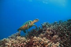 Tartaruga verde Fotografia de Stock