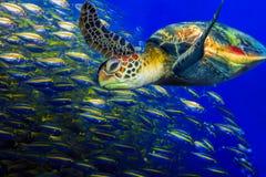 Tartaruga verde Immagini Stock