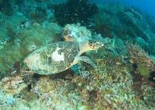 Tartaruga verde Fotografie Stock