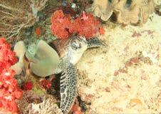 Tartaruga verde foto de stock royalty free