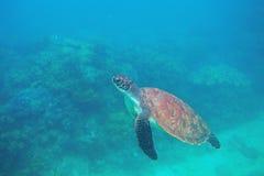 Tartaruga verde che nuota foto subacquea Primo piano della tartaruga di mare Animale oceanico in natura selvaggia Attività di vac fotografie stock