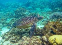 Tartaruga verde che nuota foto subacquea Primo piano della tartaruga di mare Animale oceanico in natura selvaggia Vacanza di esta fotografia stock libera da diritti