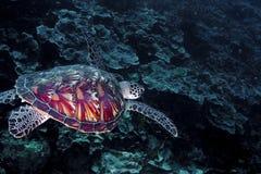 Tartaruga verde com detalhe do escudo Fotografia de Stock Royalty Free