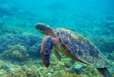 Tartaruga verde con la foto subacquea del pesce Primo piano della tartaruga di mare Animale oceanico in natura selvaggia Vacanza  immagine stock