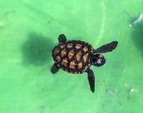 Tartaruga verde del bambino Immagini Stock