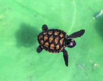 Tartaruga verde do bebê Imagens de Stock