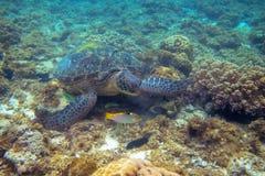 Tartaruga verde e foto subacquea del pesce di corallo Primo piano della tartaruga di mare Animale oceanico in natura selvaggia fotografia stock