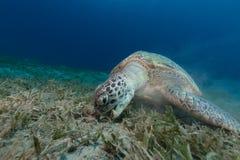 Tartaruga verde femminile che mangia l'erba del mare. Immagini Stock