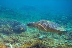 Tartaruga verde in foto inferiore del mar dei Coralli Primo piano subacqueo della tartaruga di mare Animale oceanico in natura se fotografia stock