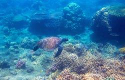 Tartaruga verde in foto subacquea dei coralli Primo piano subacqueo della tartaruga di mare Animale oceanico in natura selvaggia fotografie stock