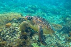 Tartaruga verde in foto subacquea della natura Primo piano della tartaruga di mare Animale oceanico in natura selvaggia immagine stock