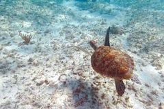 Tartaruga verde in mare caraibico Fotografie Stock Libere da Diritti