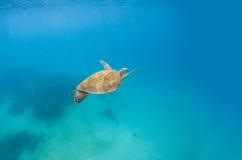 A tartaruga verde mergulha na água do mar azul Cenário do mar com tartaruga imagens de stock royalty free