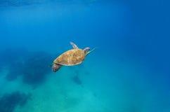 A tartaruga verde mergulha na água do mar azul Paisagem do mar com tartaruga fotos de stock royalty free