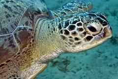 Tartaruga verde (mydas di chelonia) Immagini Stock Libere da Diritti