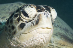 Tartaruga verde (mydas di chelonia) Immagine Stock Libera da Diritti