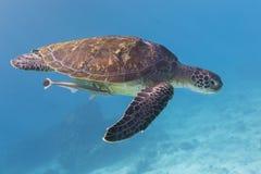 Tartaruga verde (mydas do Chelonia) na ilha de Similan, Tailândia Fotos de Stock