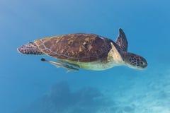 Tartaruga verde (mydas do Chelonia) na ilha de Similan, Tailândia Foto de Stock