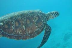 Tartaruga verde nei maldives Fotografia Stock Libera da Diritti