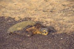 Tartaruga verde sonolento na praia Imagem de Stock