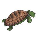 Tartaruga verde sveglia Fotografie Stock