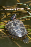tartaruga Vermelho-orelhuda Fotos de Stock