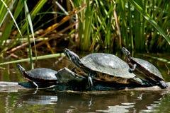 tartaruga Vermelho-orelhuda do slider Fotografia de Stock Royalty Free