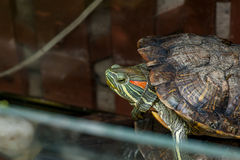 A tartaruga vermelho-orelhuda do slider Fotografia de Stock Royalty Free