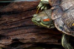 A tartaruga vermelho-orelhuda do slider em uma madeira Foto de Stock Royalty Free