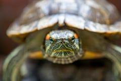 A tartaruga vermelho-orelhuda do slider em uma madeira Imagem de Stock Royalty Free