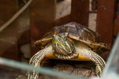A tartaruga vermelho-orelhuda do slider em uma madeira Fotografia de Stock Royalty Free