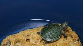 A tartaruga vermelho-orelhuda na pedra vídeos de arquivo