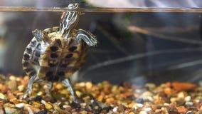 Tartaruga vermelho-orelhuda pequena vídeos de arquivo