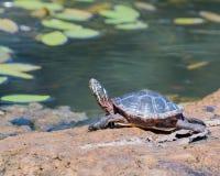 Tartaruga verniciata Fotografie Stock Libere da Diritti