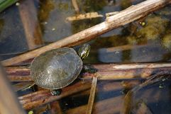 Tartaruga verniciata bambino Fotografie Stock Libere da Diritti