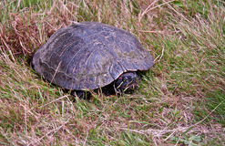 Tartaruga verniciata che fa le uova in erba Fotografie Stock Libere da Diritti
