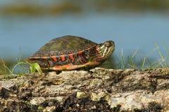 Tartaruga verniciata con i sui piedini rimboccati nelle sue coperture Fotografia Stock