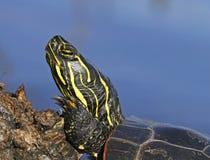 Tartaruga verniciata occidentale fotografia stock