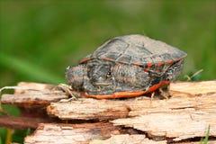 Tartaruga verniciata (picta del Chrysemys) Immagini Stock Libere da Diritti